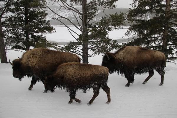 Bisons à Yellowstone