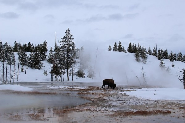 Bisons au Yellowstone NP