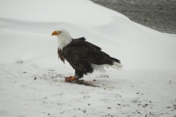 Aigle à Yellowstone