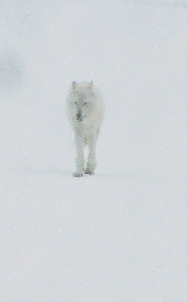 loup blanc Alpha Yellowstone