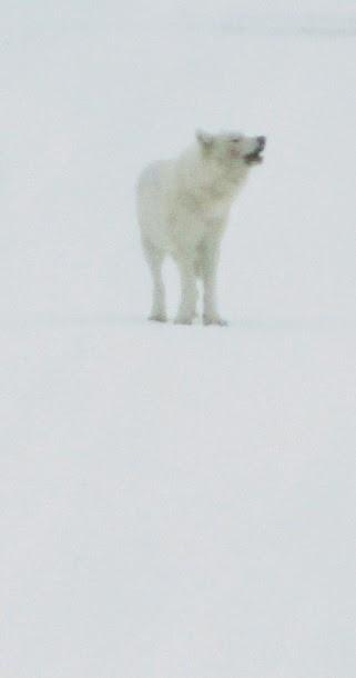 Loup blanc Yellowstone