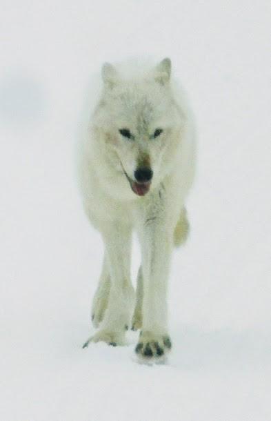 loup blanc Yellowstone NP