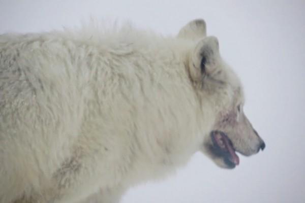 Loup blanc parc national de Yellowstone