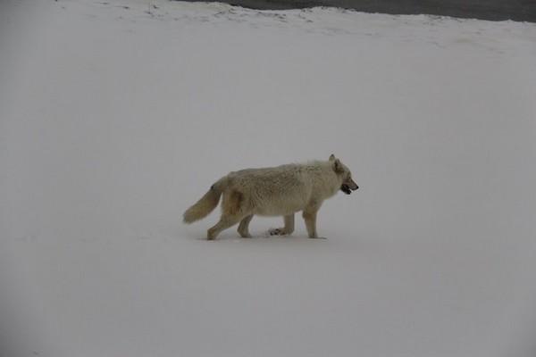 Louve Alpha Yellowstone