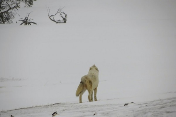 Loup blanc hurlement Yellowstone