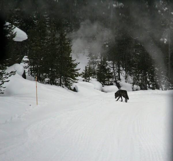 Loup Yellowstone