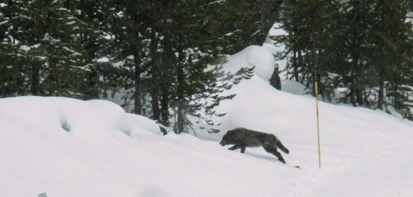Loup au Yellowstone