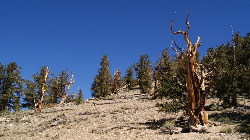 Ancient Bristlecone Pine Forest Californie USA