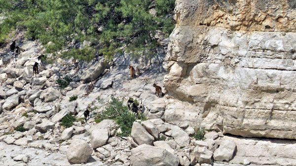 Chèvres au bord de la Pecos River Amistad Texas