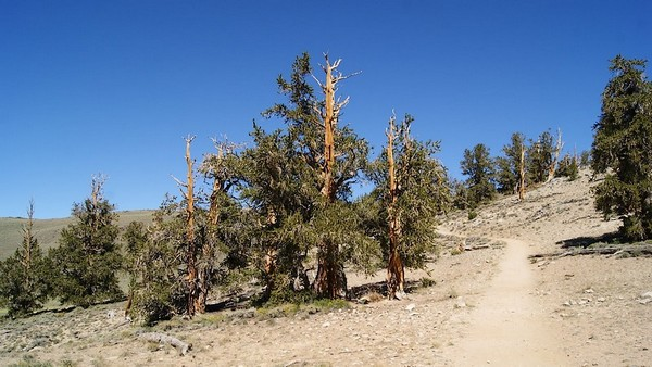 Ancient Brostlecone Pine Forest