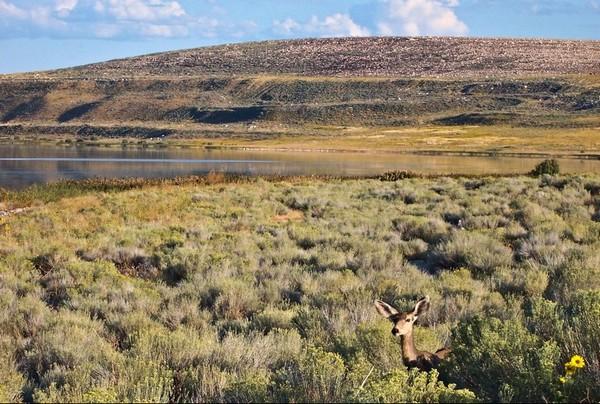 Faune Antelope Island