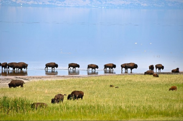 Bisons Antelope Island