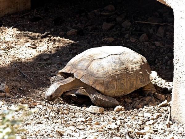 Tortue Sonora Desert Museum