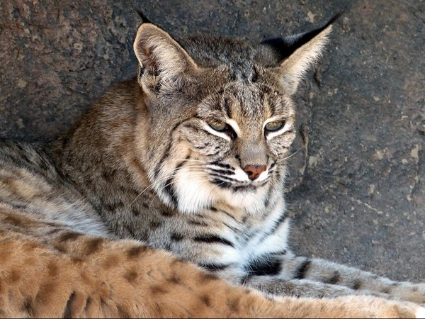 Bobcat (lynx) Sonora Desert Museum