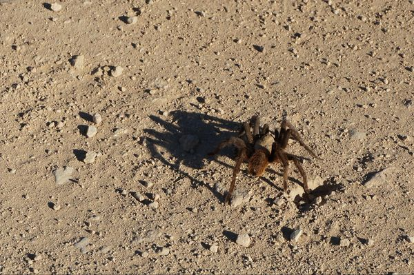 Araignée Big Bend National Park