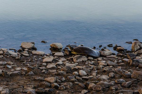 Tortue au bord du Río Grande