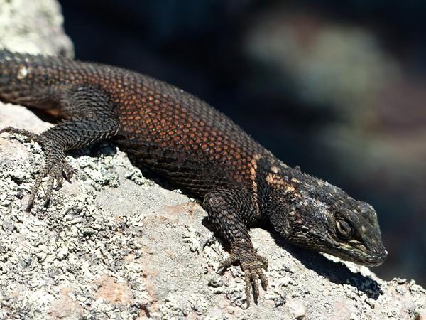 Lézard Chiricahua National Monument