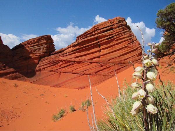 Fleur du désert au printemps dans le secteur Paw Hole Coyote Buttes South Arizona