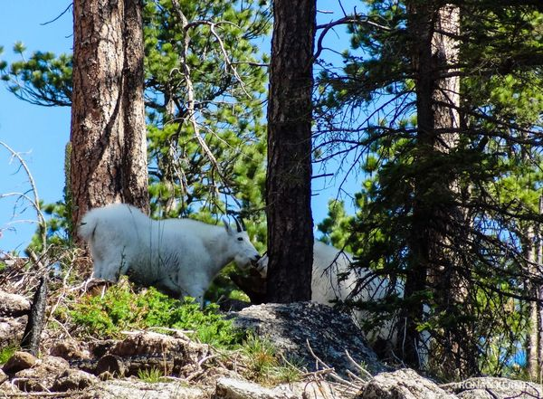 Mountain Goat Custer State Park