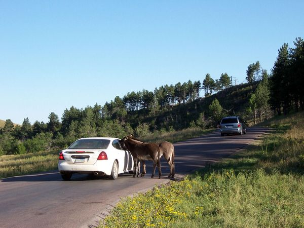Burros Custer State Park