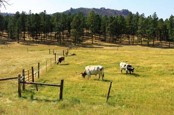 Troupeau vaches longhorn Custer State Park