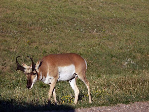 Bighorn Custer State Park