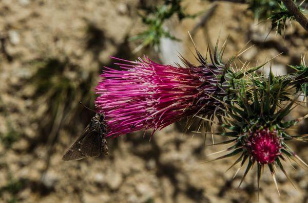 Flore Grand Canyon Arizona