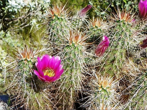 Cactus en fleurs Palm Canyon