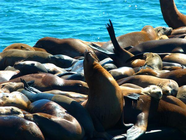 Les phoques de Moss Landing Californie