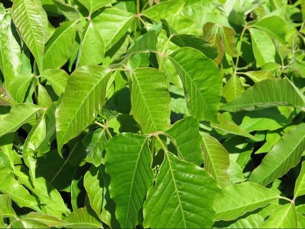 sumac vénéneux (poison ivy)