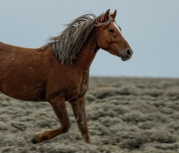 Pilot Butte Wild Horse