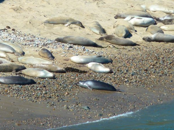 Elephant Seal Colony Point Reyes