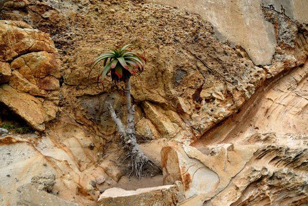 Plante endémique Point Reyes