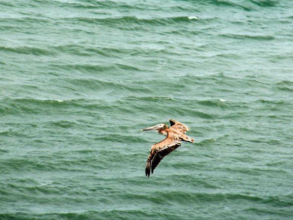 Envol majestueux au dessus des flots