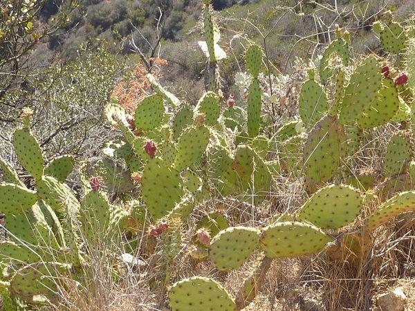 Cactus Wrigley Memorial & Botanic Garden Santa Catalina Island