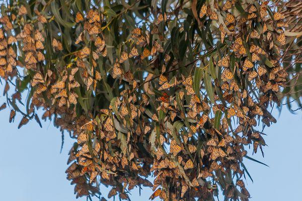 Papillons monarques Monarch Butterfly Nature Preserve Santa Cruz