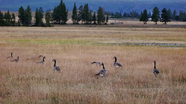 Oies sauvages Yellowstone