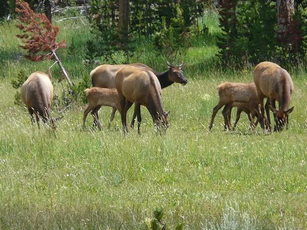 Mule Deers à Lamar Valley Yellowstone