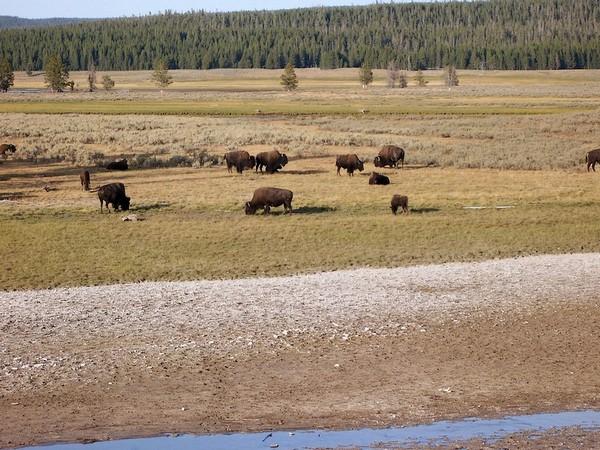 Bisons à Hayden Valley Yellowstone