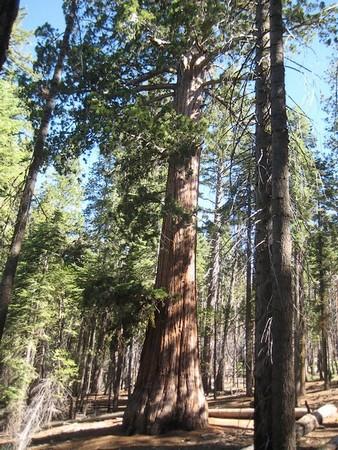 Dans la forêt de séquoias Mariposa Grove Yosemite