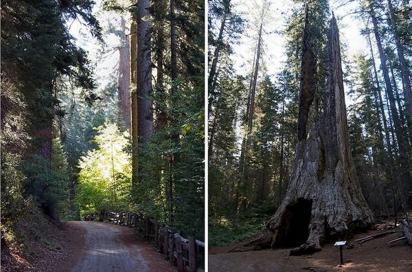 Tuolumne Grove Yosemite