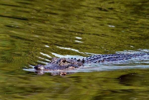 Alligator Bayous Louisiane