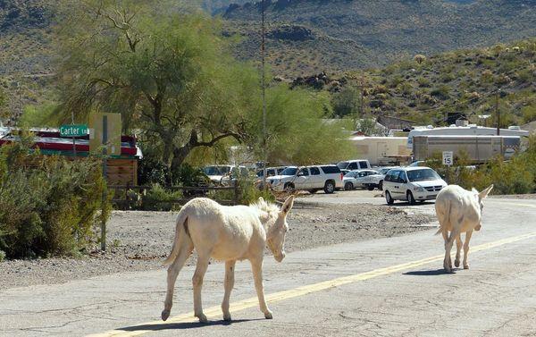 Burros Oatman Arizona