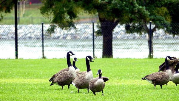 Les oies sauvages de Roosevelt Island New York