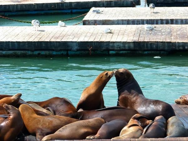 Sea Lions Colony Pier 39 San Francisco