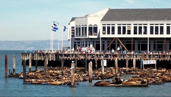 La colonie des otaries en 2009 Pier 39 San Francisco