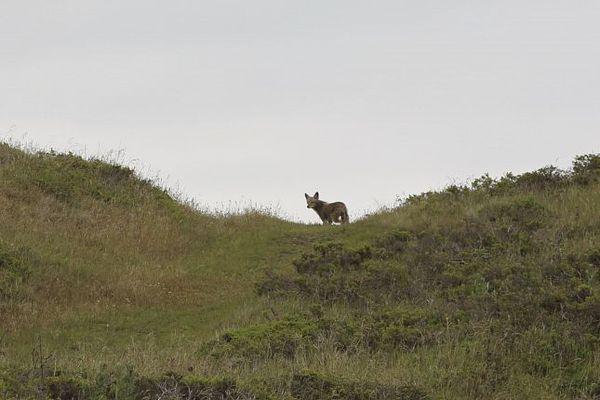 Un coyote curieux Sausalito