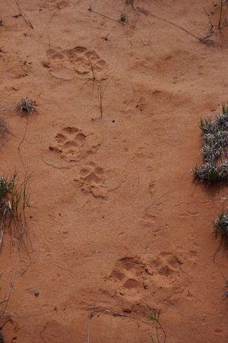 Empreintes de Lynx White Pocket Arizona
